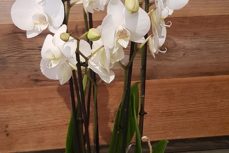 Orchidée Phalaenopsis blanc avec cache-pot grande