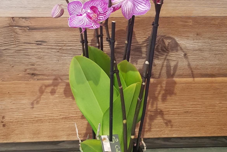 Orchidée Phalaenopsis Violet avec cache-pot grande