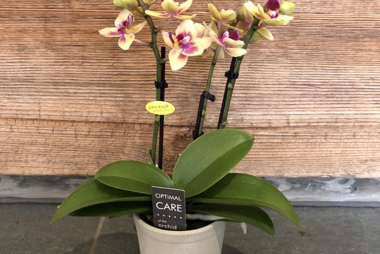 Mini-orchidée Phalaenopsis jaune-violet avec cache-pot