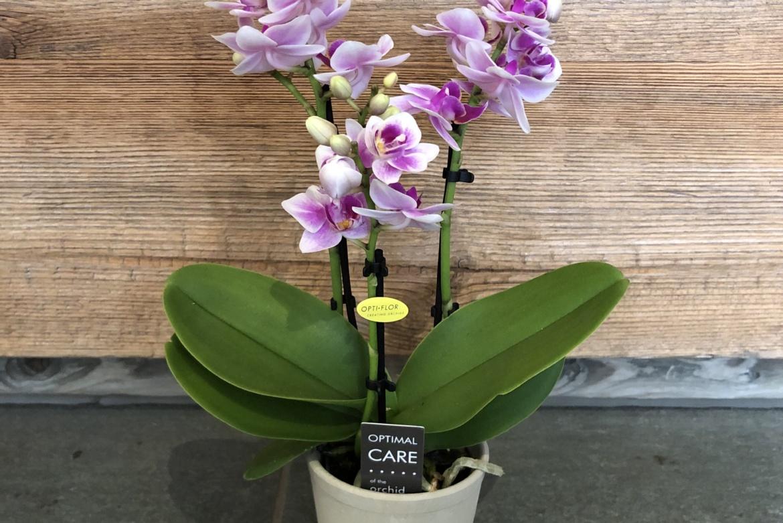 Mini-orchidée Phalaenopsis blanc-violet avec cache-pot