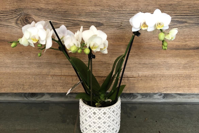 Orchidée Phalaenopsis blanc avec cache-pot taille moyenne