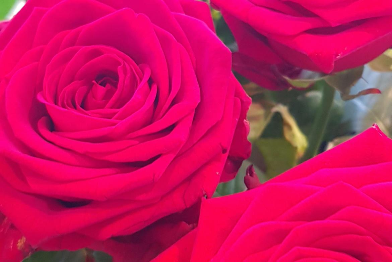 Rose rouge Red Naomi