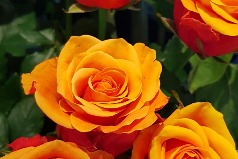 Rose orange Espana