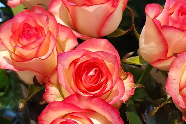 Rose rose Jumilia