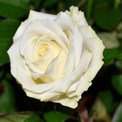 Rose blanche Avalanche